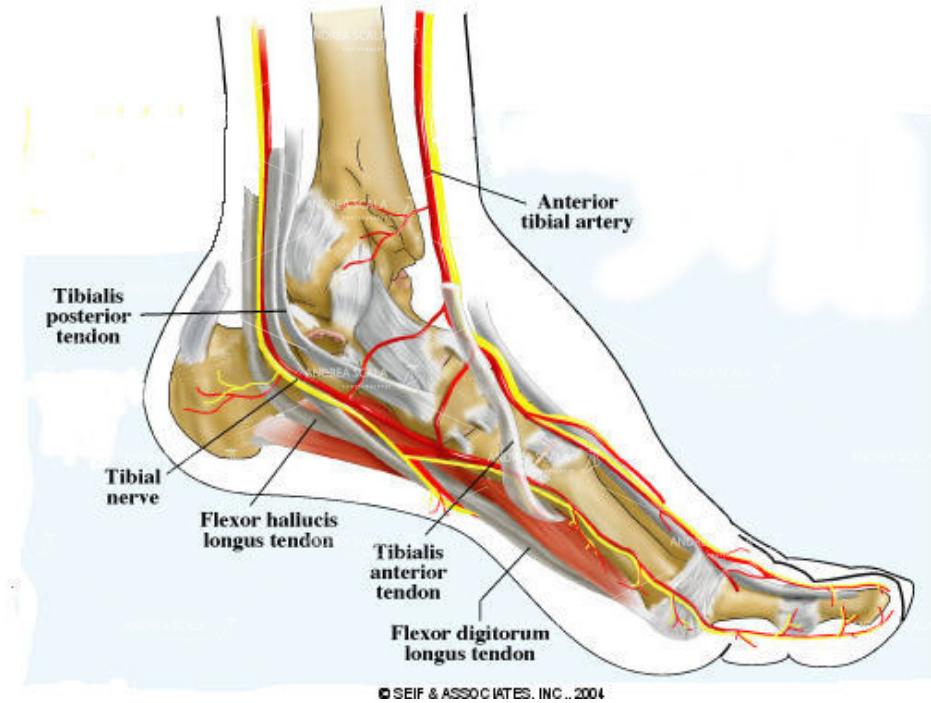 lesione neurologica nervo tibiale foto disegno tibial nerve