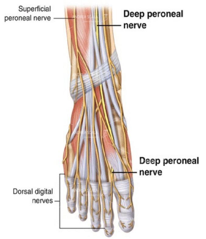 lesioni neurologiche perone profondo disegno