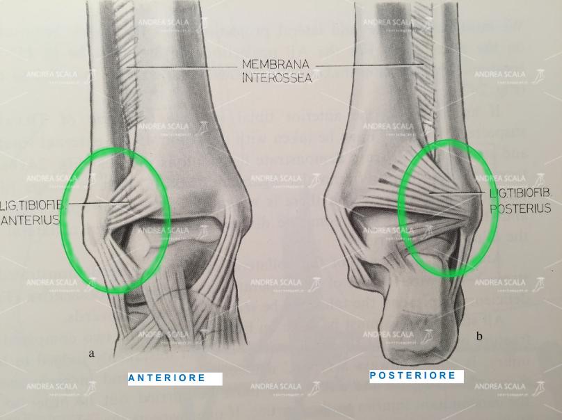 LA PROTESI DI CAVIGLIA ECOLOGICA illustrazione anatomica