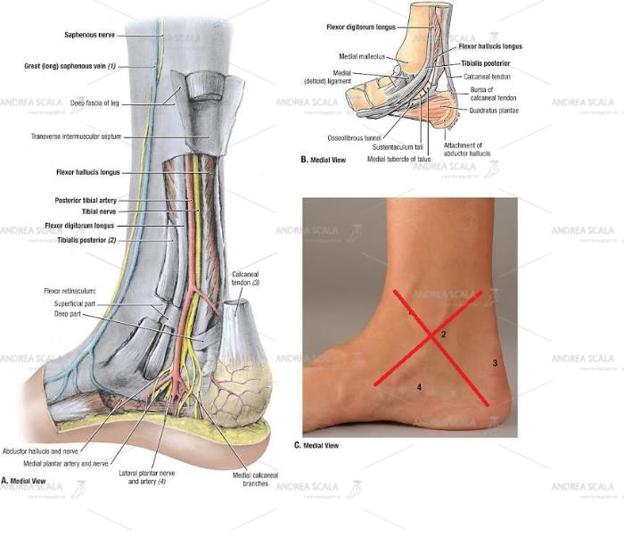 Non si accede alla caviglia per via mediale perché si dovrebbe tagliare il malleolo tibiale, sezionare il legamento deltoideo, spostare i tendini del compartimento mediale e passare accanto alla arteria tibiale e al nervo tibiale posteriore e ai suoi rami.