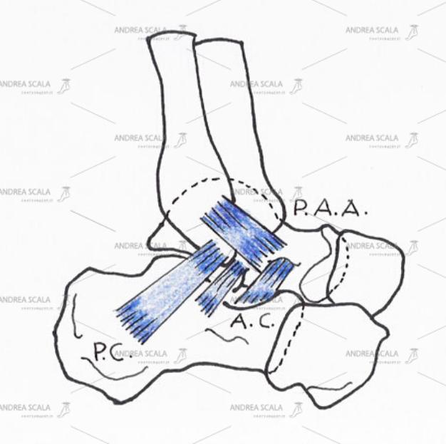 Distorsione della caviglia e legamenti