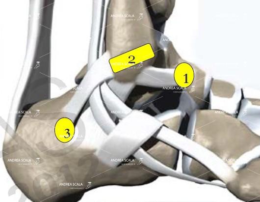 L'anatomia dei legamenti della caviglia