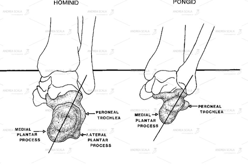 Lo schema mostra la differenza tra il piede umano e il piede dello scimpanze.