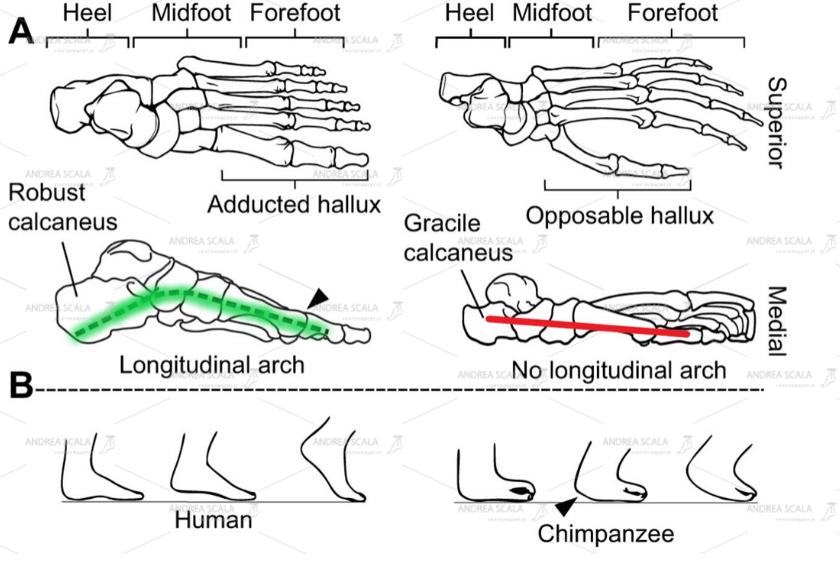 Lo schema mostra le differenze tra il piede dello scimpanze e quelle della specie umana.