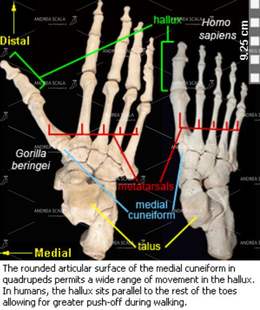Viene mostrato il confronto tra lo scheletro del piede della specie umana e il piede dello scimpanze