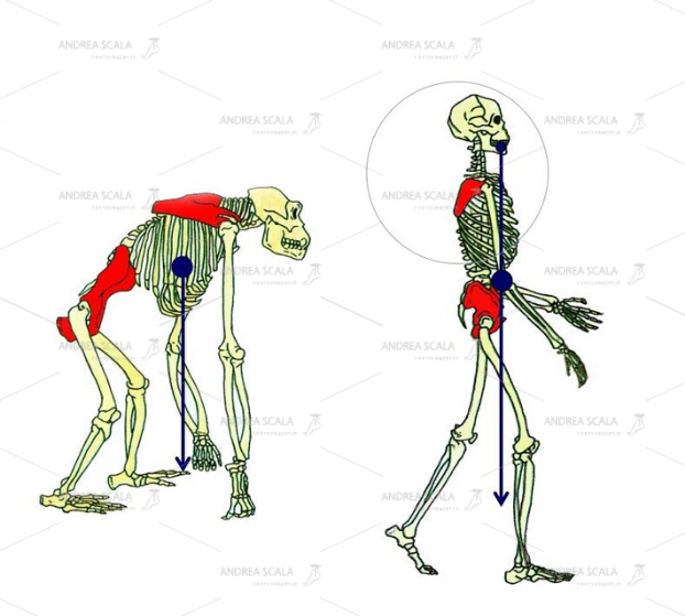 Lo schema mostra che la stazione eretta porta il baricentro all'interno del poligono d'appoggio costituito dai due piedi. Questo è il fattore di maggiore differenza tra la postura della specie umana e gli altri primati.