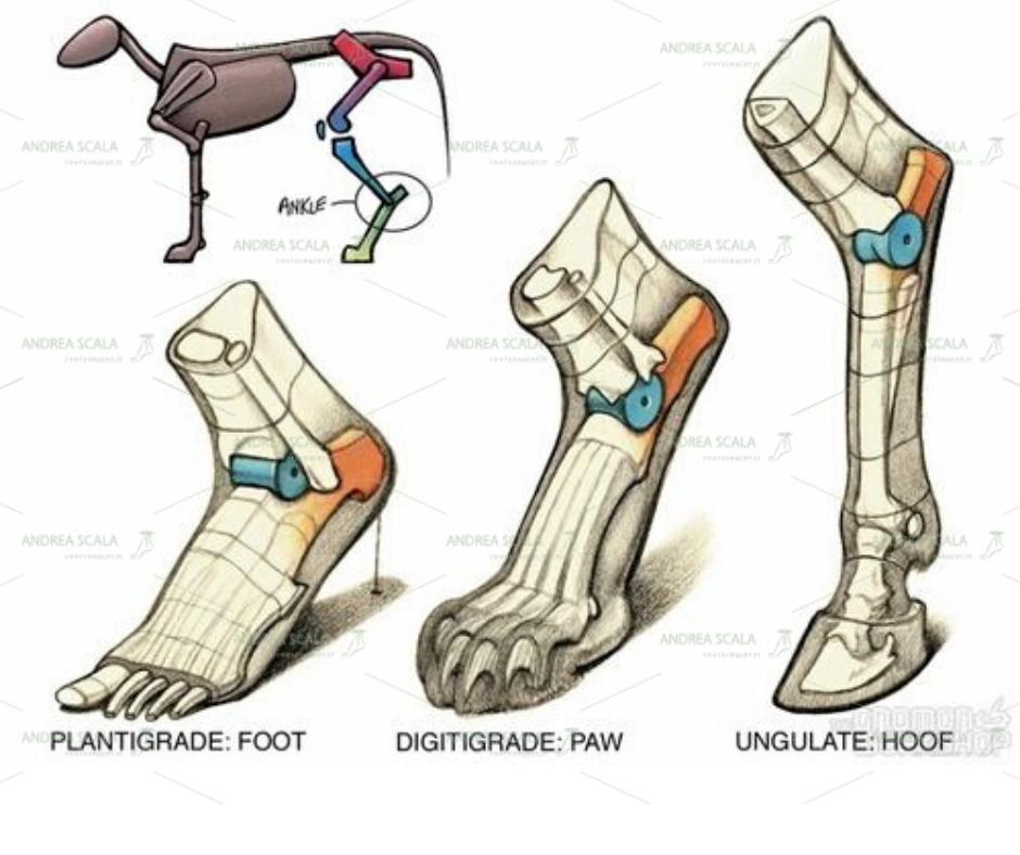 Lo schema mostra l'astragalo (colorato in blu) nella caviglia. Nel corpo umano appare ben bloccato tra i due malleoli.