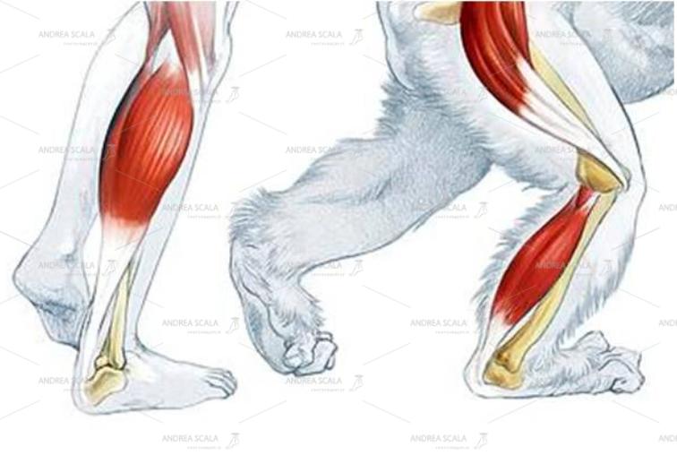 Lo schema mostra che l'arto inferiore umano è più esteso. Il tendine d'Achille e i muscoli del polpaccio sono più sviluppati