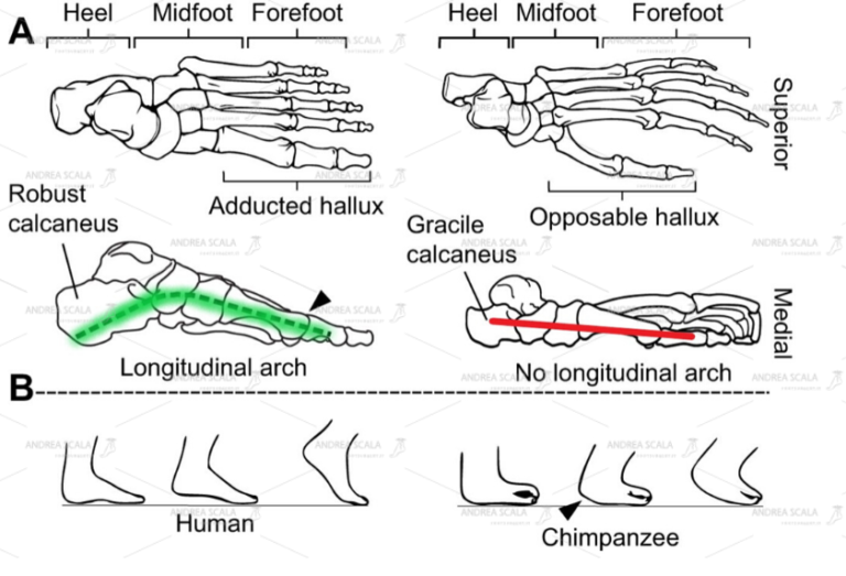 Lo schema mostra le differenze tra il piede dello scimpanze e quelle della specie umana