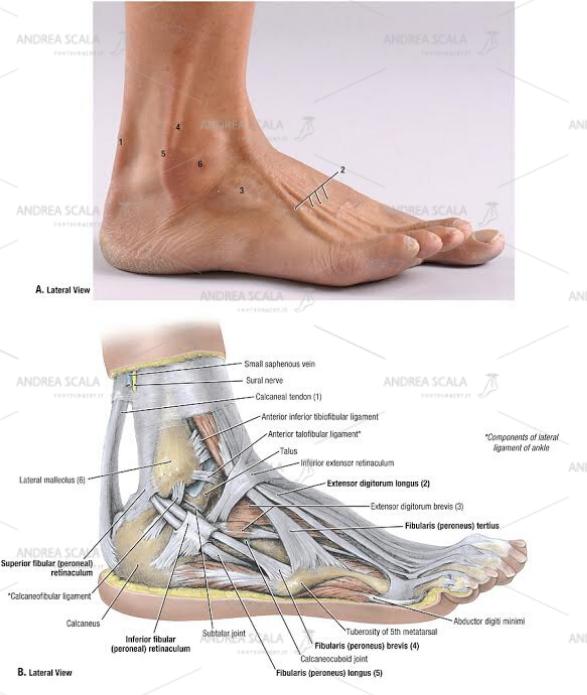 componenti laterali: legamenti della caviglia