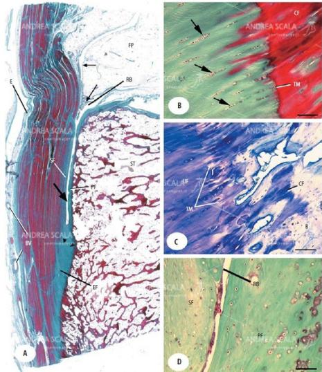 La figura mostra la Anatomia microscopica della inserzione (entesi) del tendine d'Achille al microscopio.