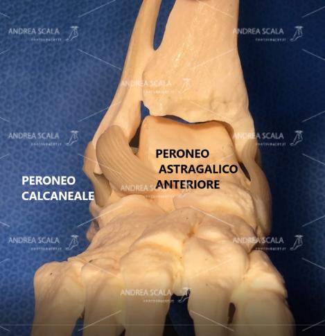 La foto rappresenta i legamenti che garantiscono la stabilità della caviglia: PERONEO ASTRAGALICO ANTERIORE e PERONEO CALCANEALE.